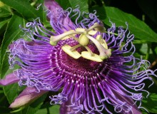 Piante con proprietà rilassanti: la Plassiflora - Notturnia Rovigo